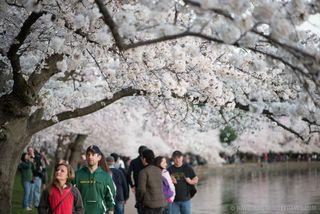 Cherry-Blossoms-April-11-2015-30-COPYRIGHT-HAVECAMERAWILLTRAVEL.COM_-678x453